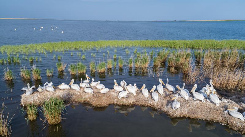 Dalmatian pelicans pelecanus crispus in Danube Delta Romania royalty free stock photography