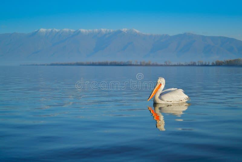 Dalmatian pelicans, Pelecanus crispus, in Lake Kerkini, Greece. Pelicans on blue water surface. Wildlife scene from Europe nature stock images