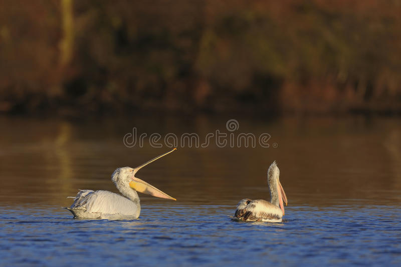 Dalmatian Pelicans on Water stock photography