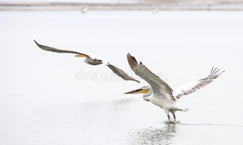 Dalmatian pelikan i flykten (Pelecanuscrispusen) arkivbilder
