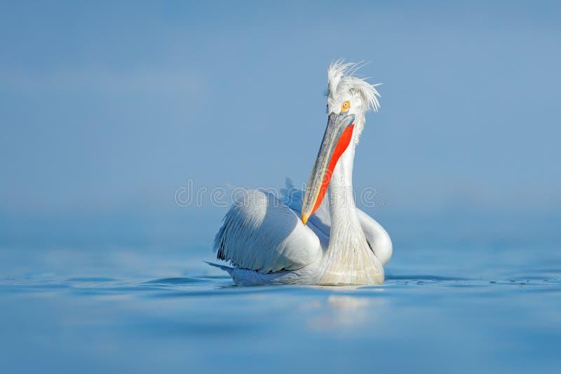 Dalmatian pelikan, Pelecanuscrispus, i sjön Kerkini, Grekland Yttersida för Palican withbluelugnt vatten Djurlivplats från Europa royaltyfri bild