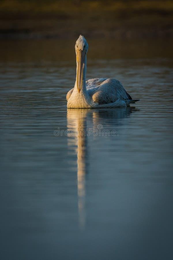Dalmatian pelikancloseup med reflexionssimning i sjövatten och fångafiskar royaltyfri bild