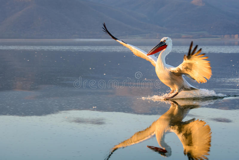 Dalmatian pelikanPelecanuscrispus arkivfoton