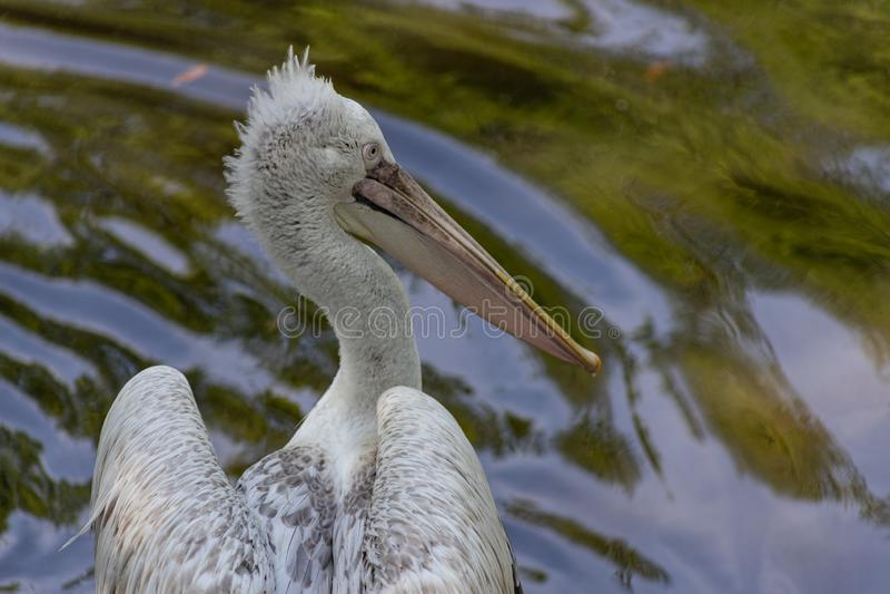 Dalmatian pelikanPelecanuscrispus den st?rsta pelikan i v?rlden royaltyfria bilder