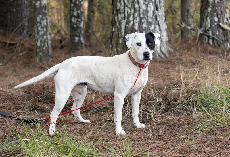 Dalmatian Pointer mixed breed dog outside on leash. Young female white dalmatian mix with black spot over her eye. Outdoors with collar and leash. Dog rescue pet royalty free stock photo
