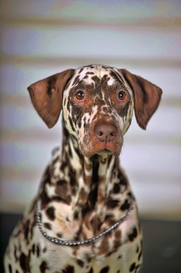 Dalmatian. Portrait of a cute little Dalmatian dog in close-up stock photography