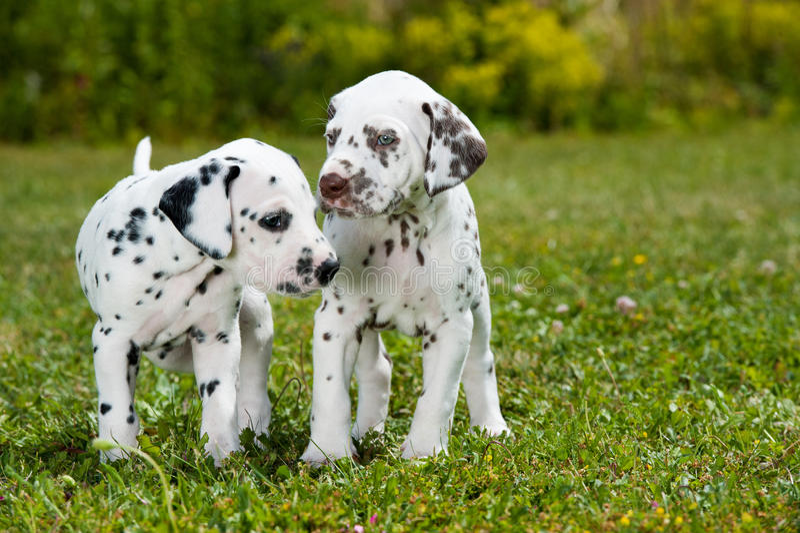 Dalmatian puppies stock image