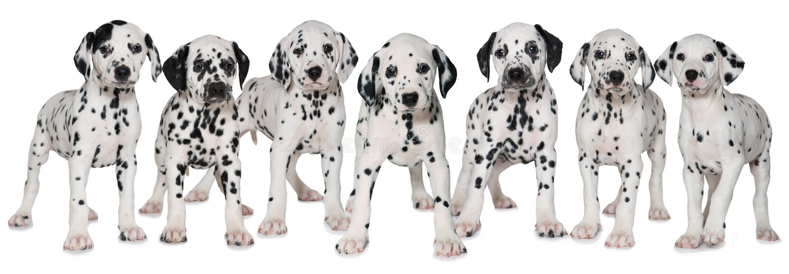 Dalmatian puppies. Seven dalmatian puppies standing side by side royalty free stock photos