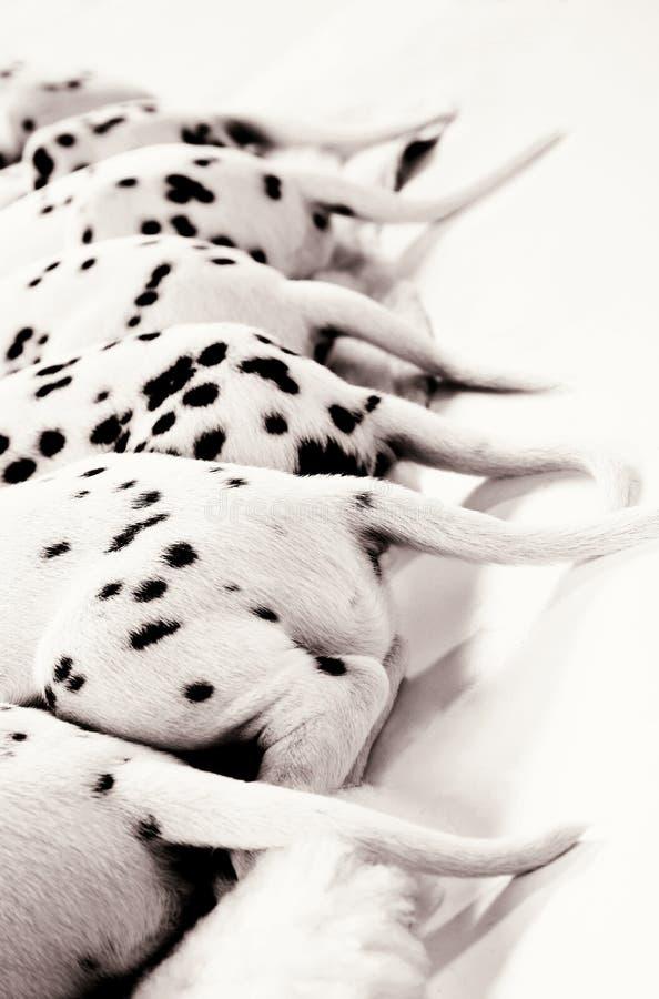 Dalmatian puppy stock images