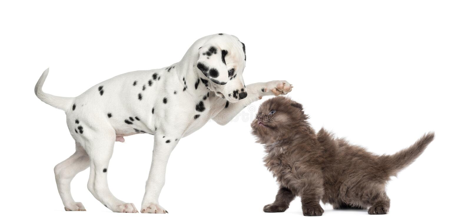 Dalmatian puppy and Highland fold kitten playing stock photography