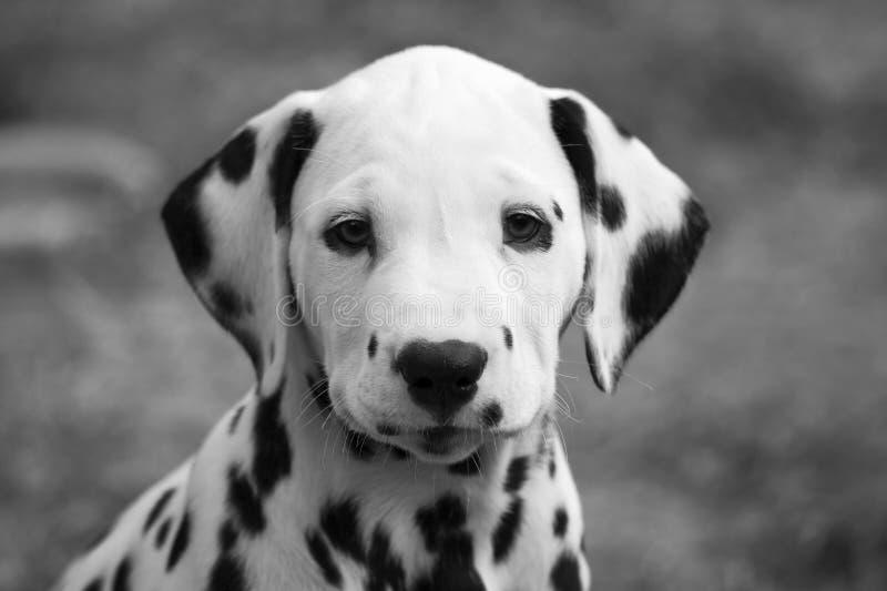 Dalmatian puppy portrait stock photography