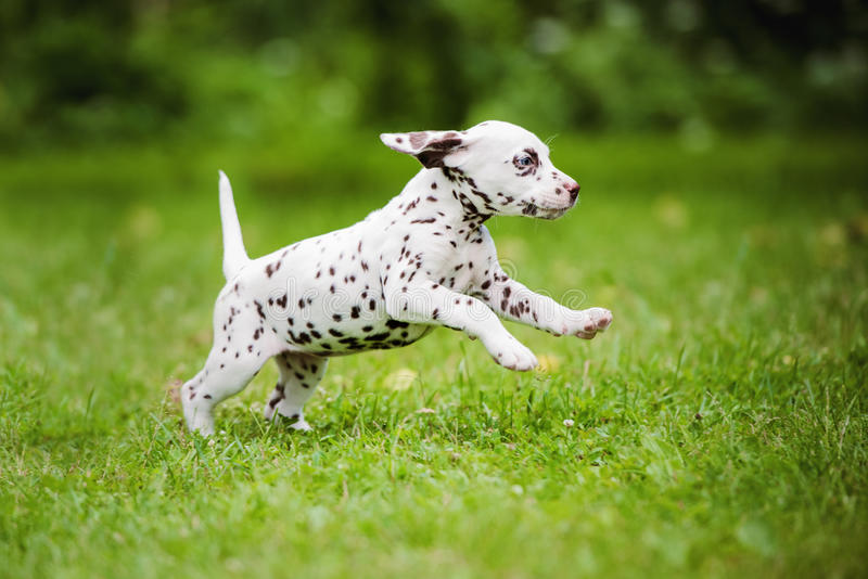 Dalmatian puppy running on grass. Adorable dalmatian puppy outdoors in summer stock photos