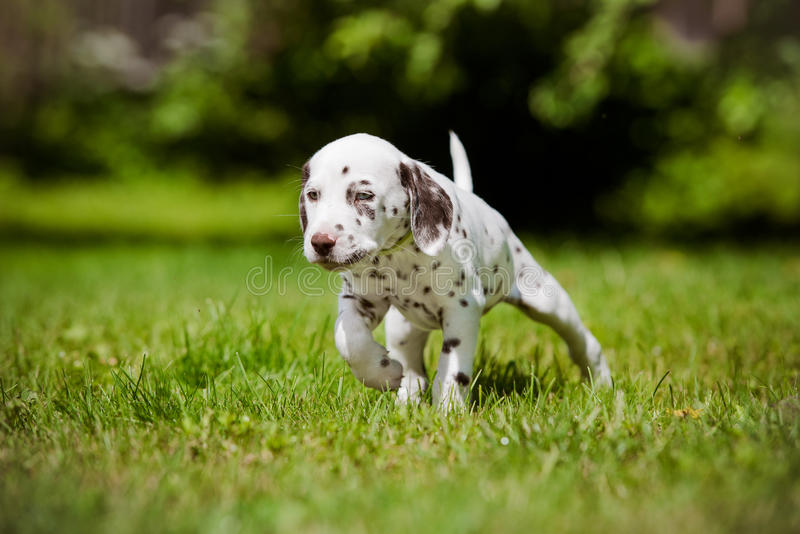 Dalmatian puppy walking on grass. Adorable dalmatian puppy outdoors in summer stock images