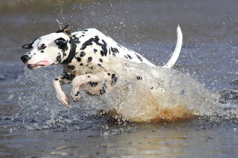 Dalmatian que salpica en agua foto de archivo
