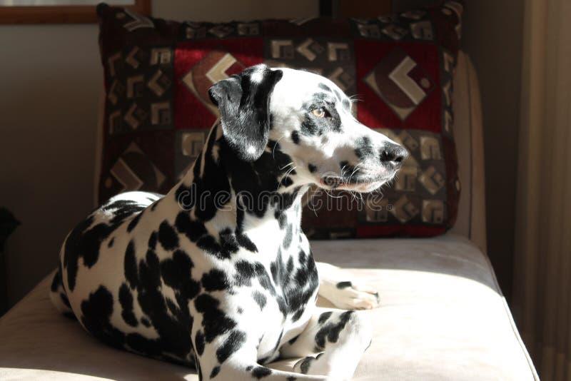 Dalmatian que se sienta bastante imágenes de archivo libres de regalías