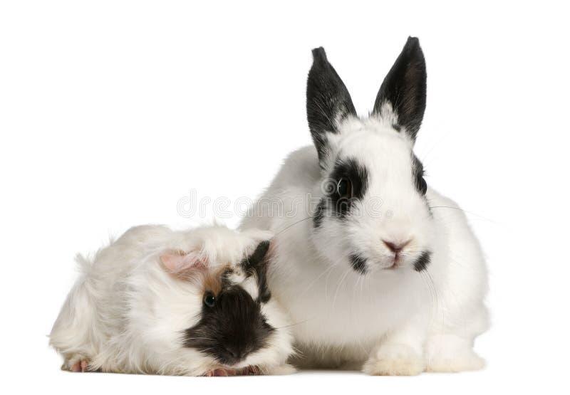 Dalmatian rabbit, 2 months old royalty free stock photo