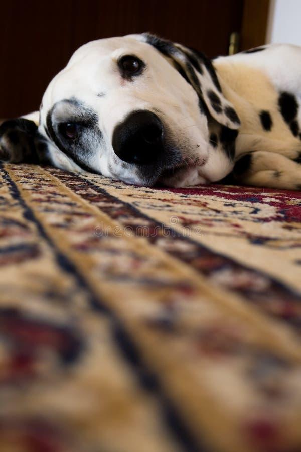 Dalmatian resting royalty free stock photo