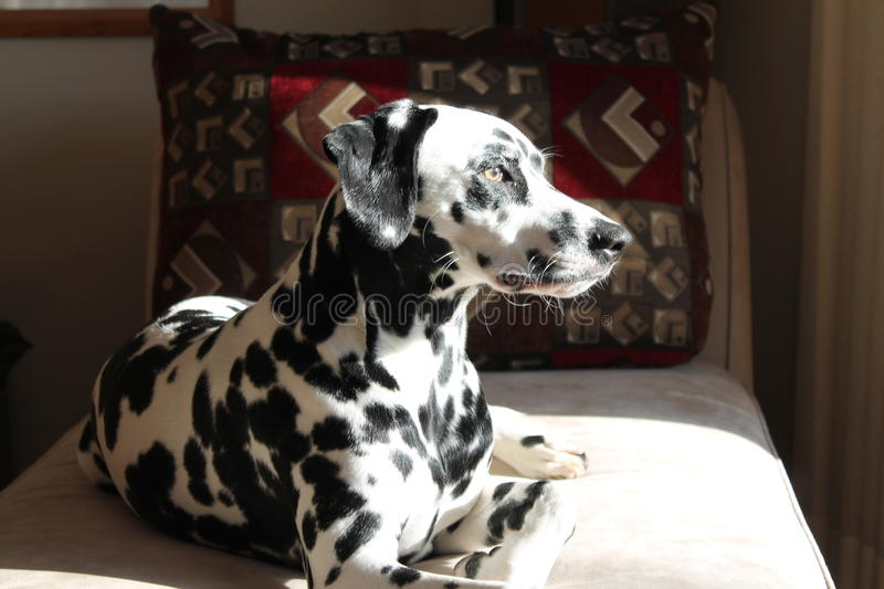 Dalmatian Sitting Pretty royalty free stock images