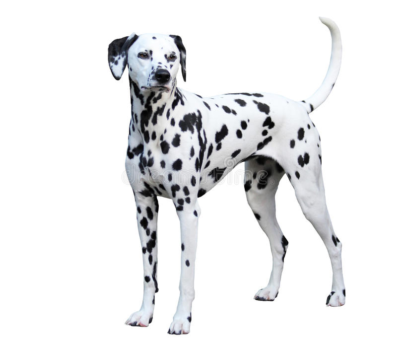 Dalmatian standing, isolated against a white background. stock photos