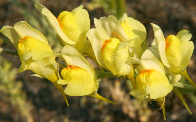 Dalmatian Toadflax (Linaria dalmatica). Linaria dalmatica is a herbaceous plant native to western Asia and southeastern Europe that has become a weed in other royalty free stock photos
