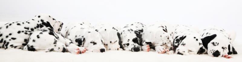 Dalmatian valp fotografering för bildbyråer