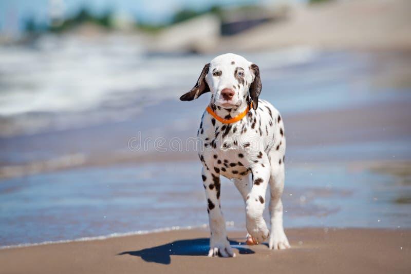 Dalmatian valp på stranden arkivfoton