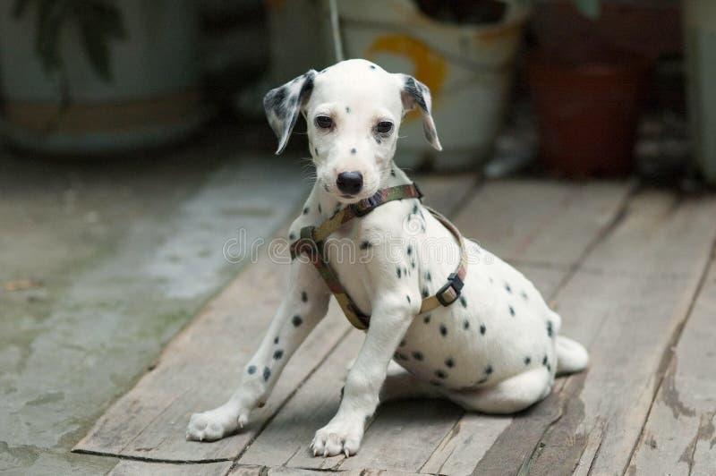 Dalmatian was kabelsluitingen royalty-vrije stock fotografie