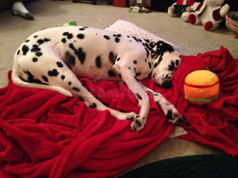 Dalmatian worn out asleep on floor. Cute Dalmatian snoozing on floor after play time and a long walk stock photography