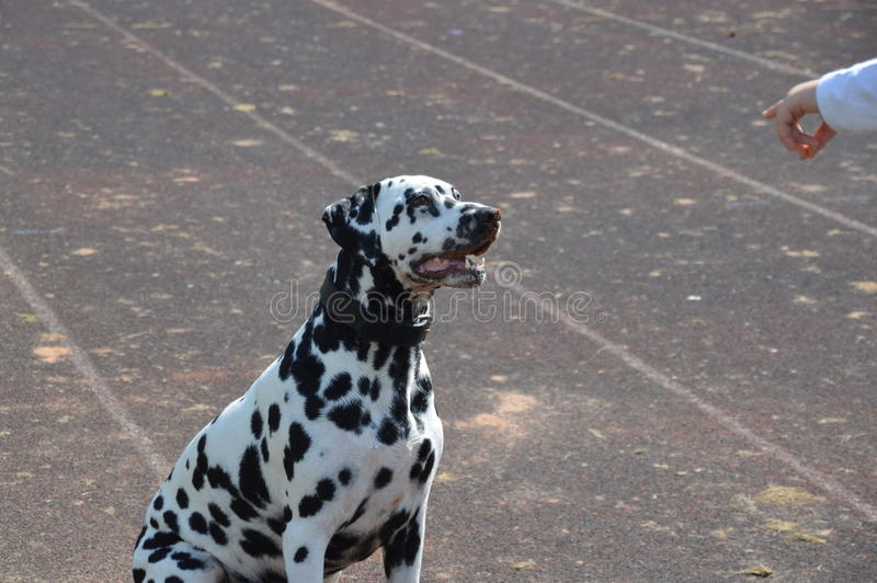 Dalmatians royalty free stock photos