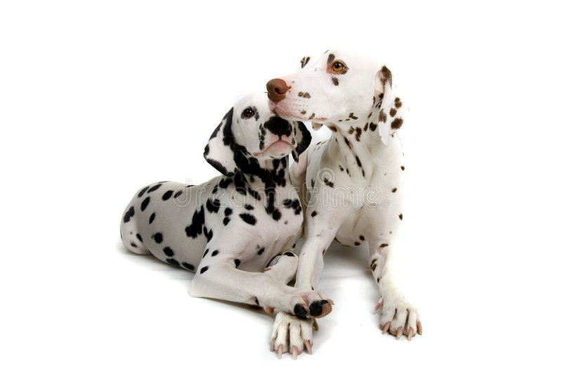 Dalmatians geknuffel royalty-vrije stock foto's
