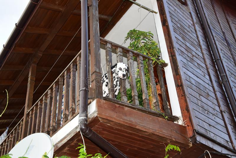 Dalmatiner auf dem Balkon lizenzfreie stockbilder