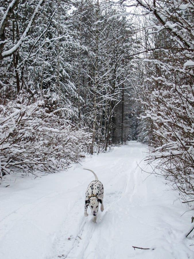 Dalmatinische Läufe und Spiele in einem schneebedeckten Wald des Winters lizenzfreie stockbilder