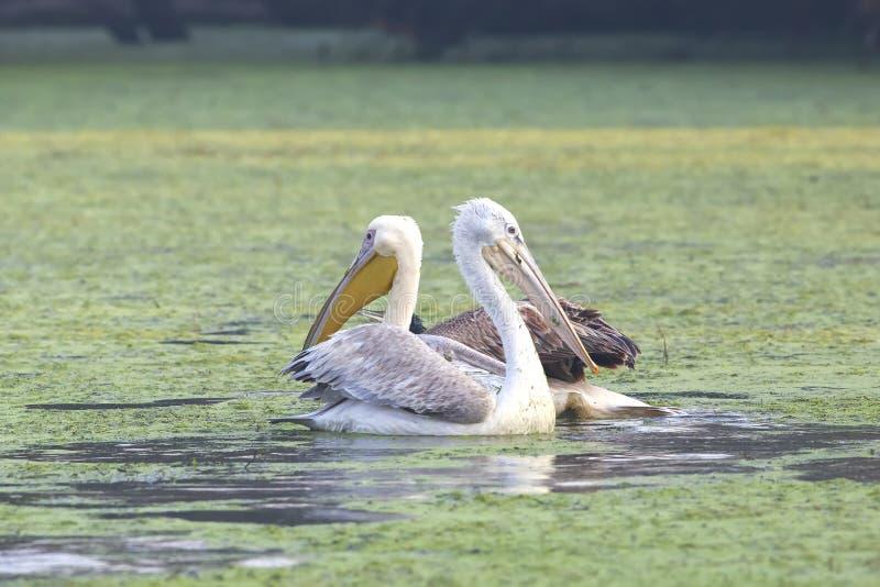 Dalmatinische Pelikane stockbilder