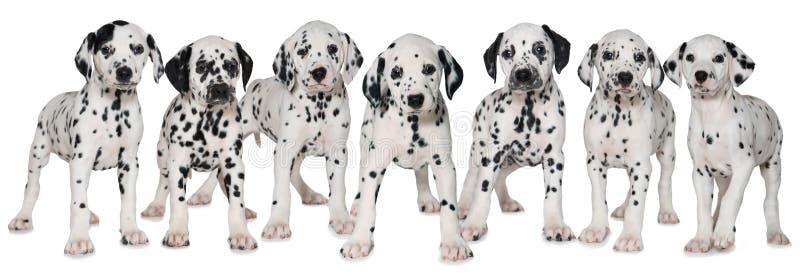 Dalmatinische Welpen lizenzfreie stockfotos