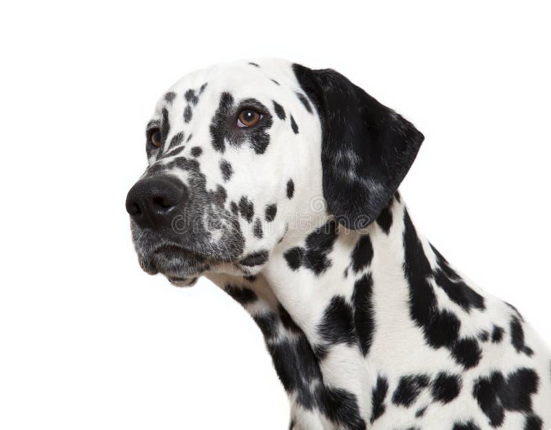 Dalmatinischer Hund lizenzfreie stockfotos