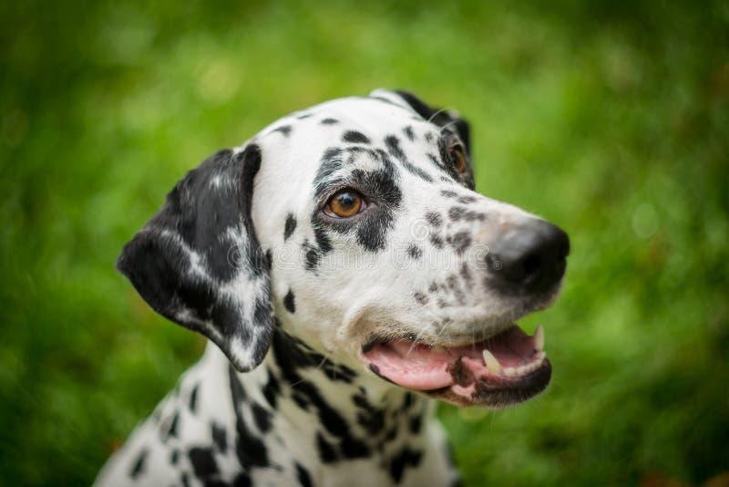 Dalmatinischer Hund lizenzfreies stockbild