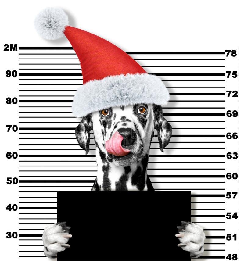 Dalmatinischer Hund als Weihnachtsmann im Gefängnis Auf Weiß stockfotos