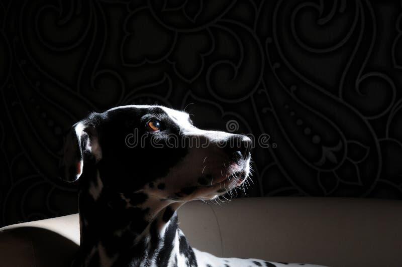 Dalmatinischer Hund auf einem weißen Stuhl in einem Stahl-grauen Innenraum Harte Studiobeleuchtung Künstlerischer Porträtabschluß lizenzfreie stockfotografie