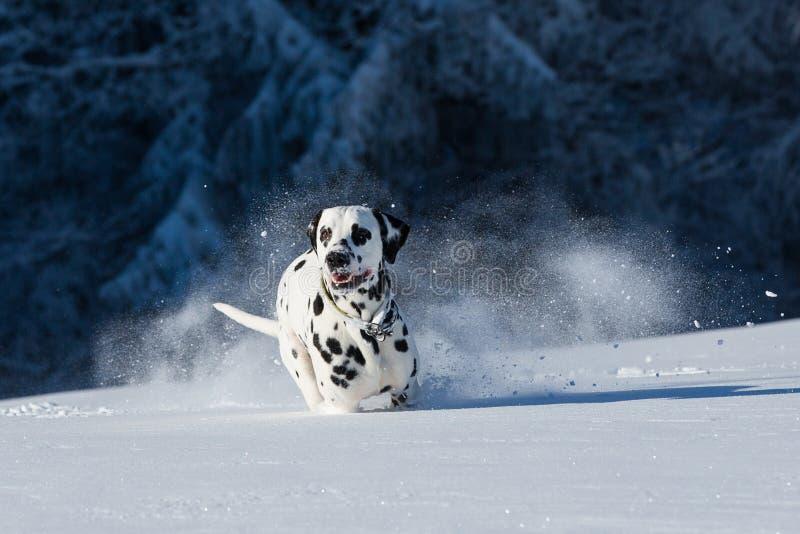 Dalmatinischer Hund, der in Schnee läuft lizenzfreies stockfoto