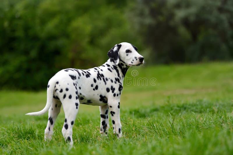 Dalmatinischer Hund draußen im Sommer stockbild