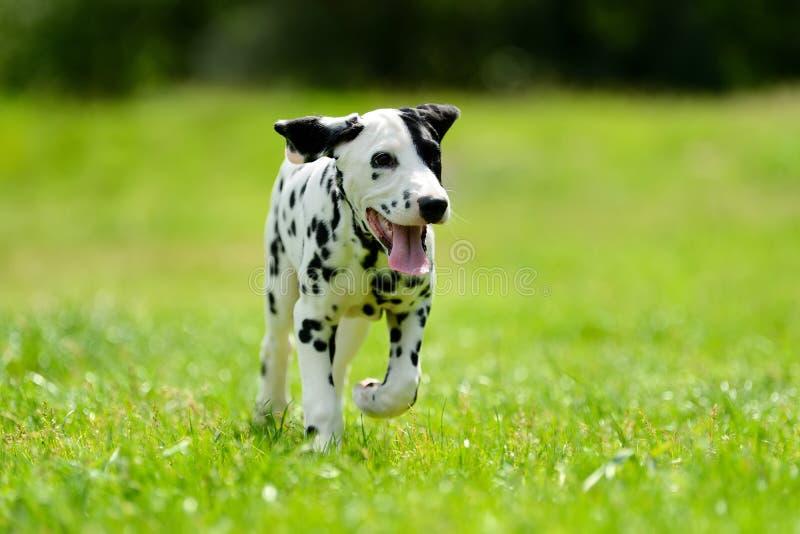 Dalmatinischer Hund draußen im Sommer lizenzfreie stockfotos