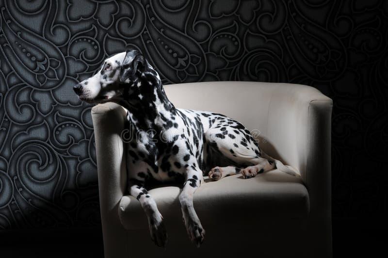 Dalmatinischer Hund in einer roten Fliege auf einem weißen Stuhl in einem Stahl-grauen Innenraum Harte Studiobeleuchtung Künstler stockfoto