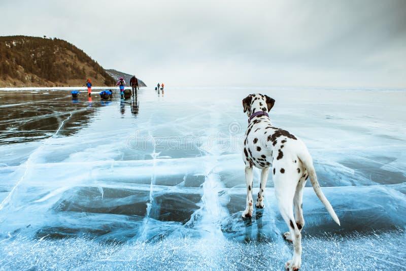 Dalmatinischer Hund im Winter im Schnee lizenzfreies stockbild
