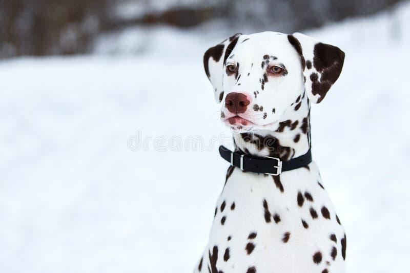 Dalmatinischer Hund im Winter im Schnee Beiseite sitzender und aufwerfender Hund, lookig stockbild