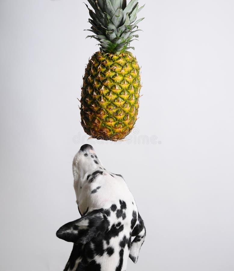Dalmatinischer Hund und Ananas über seinem Kopf Weißer Hintergrund Freier Raum für Design stockfotos