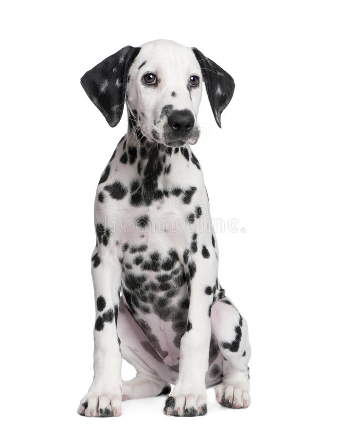 Dalmatinischer Welpe lizenzfreies stockbild