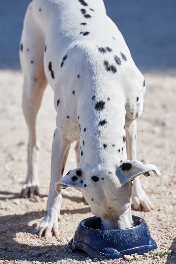 Dalmatinischer Welpe isst trockenes Lebensmittel von einer Schüssel stockfoto