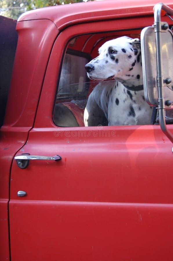 Dalmation σε ένα κόκκινο πυροσβεστικό όχημα στοκ εικόνα με δικαίωμα ελεύθερης χρήσης