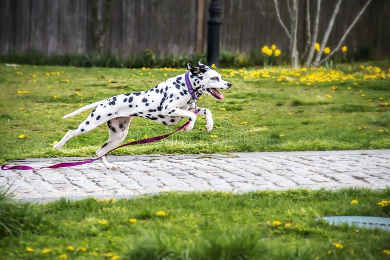 Dalmation πηδήματος στοκ φωτογραφία με δικαίωμα ελεύθερης χρήσης