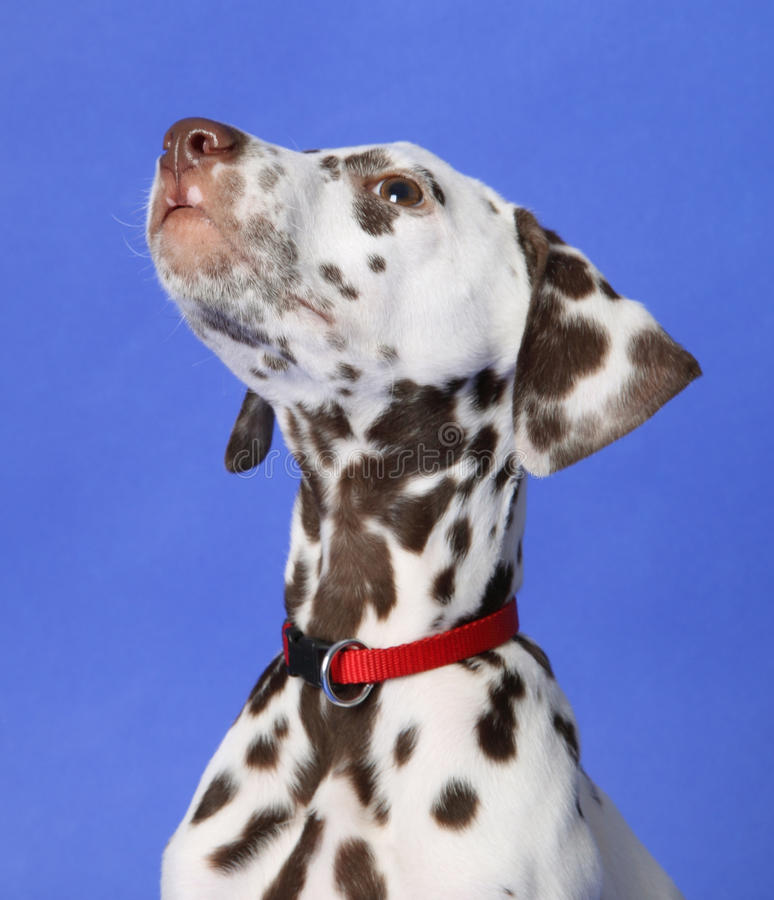 Download Dalmation stock photo. Image of purebred, breed, cute - 13147766